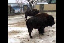 Bison / Como Zoo's Bison