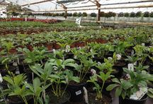 """""""Norwegian Helleborus nursery"""" / JULEROSER, www.blomste-svein.com svop@getmail.no Nøsteveien 120 3400 LIER. N"""