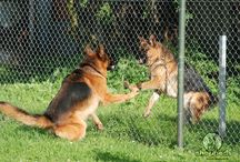 GSD Behavior / We know you love your German Shepherd! That is why we think you should learn as much as possible about GSD behavior. Find out more below or on our website, in the special section (https://www.shepped.com/category/behavior/)