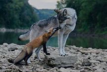 Lobo Fox