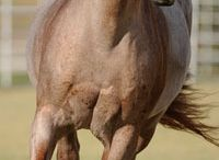 cavalli-anima