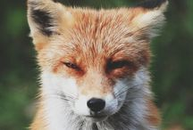 CHARLIE FOX / My little fox cub