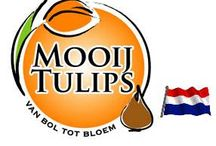 G-fresh grower Mooij Tulips / Mooij Tulips is based in Limmen, in the Dutch province of Noord-Holland. From here we apply ourselves to the forced cultivation of various species of tulips from the Netherlands and the southern hemisphere.