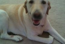 Labradors / The best dog for everyone.
