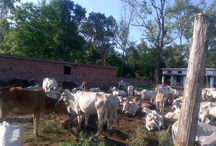 Shiv Balak Goswami Ki Gaushala / शिव बालक गोस्वामी की गौशाला में गाय माता की सेवा की जाती  है वहा  पे वो जो भी गाय जो की लावारिस , बीमार अथवा वृद्ध होती है वो उनकी मदत करते है. वो उन्हें अपने गौशाला में ले आते है और उनकी देख भाल  करते  है.वो उनका पालन पोषण करते  है.