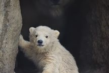 ursuleţi