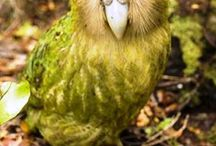 Kakapo / Photos of Kakapo