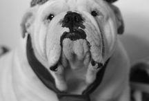 Bulldog love / Love the English (brittish) Bulldogs