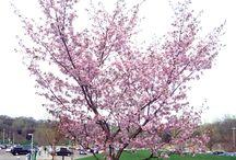 Зимостойкие декор. Prunus s.l.