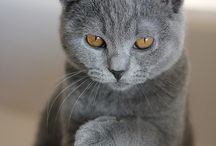 The grey one / Chartreux