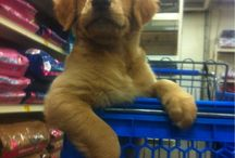 Goldens are GREAT! / by Corrie Getz