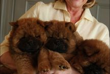 Chow Chows make the most loyal companions / by Carol Hines