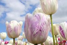 tulipani!!!