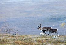Reindeer / Reindeer - noble animal and symbol of Lapland