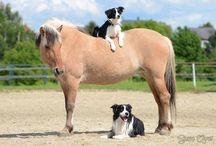 horses and border collies