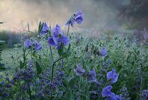 Blue Garden / planting in tones of slate to indigo blue