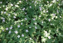 geraniums/(semi)evergreen/schaduw/zon/halfschaduw