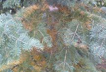 Örökzöld növények lombváltása / Kevesen gondolunk arra, hogy az örökzöld növények (legyenek tű,- lomb,- vagy pikkely levelűek) szintén hullajtják a lombjukat, azaz a lombhullatókhoz hasonlóan évente lecserélik a tűleveleiket. Ez a mozzanat gyakran kétségbe ejtheti a növény tulajdonosát, mert olyan hatást kelt,  mintha beteg lenen a növény. Ebben az albumban néhány örökzöld lombváltását mutatom be.