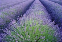 How to Lavender