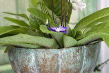 Sweet  African violets