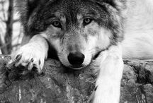 farkasok, rókák
