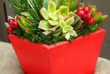 Succulents christmas