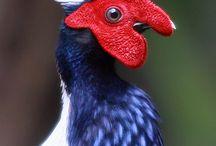 Aves(Birds)