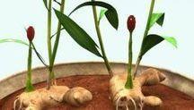 ΤΖΙΝΤΖΕΡ-καλλιεργεια