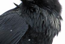 Raven`s