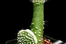 Kaktusy i Sukulenty