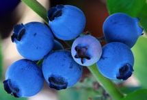 Growing blueberry's