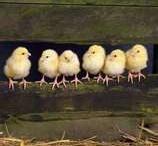 Chicken farm / by Andrea Bartley