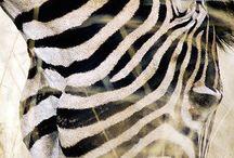 Zebras <3