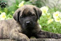 English Mastiff Puppies and Dogs / The powerful but loving English Mastiff!