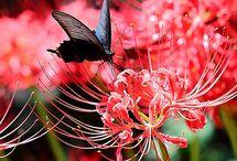 석산화 꽃무릇 Lycoris radiata