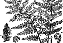Ferns / All things ferns! Art, pictures, design — I'm all about the fern.