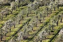 Orchard / by Amanda J. Azzarone