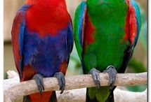 Eclectus Parrot / The eclectus parrot is native to the Solomon Islands, Sumba, New Guinea and nearby islands, northeastern Australia and the Maluku Islands.
