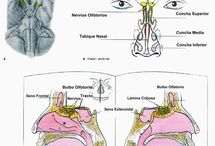 Pares craneales / Son 12 parejas de nervios que tienen su origen real en diversos núcleos del tronco del encéfalo y que para llegar a su destino final han de atravesar diferentes orificios del cráneo lo que lo califica como craneales