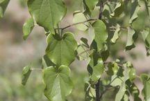 Drought-Tolerant Trees