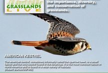 Grasslands / Celebrating our North American grasslands and prairies, and the birds and other wildlife that call these special places their home.