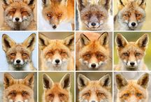 LE RENARD ROUX... / Mostly Red Foxes.Latin name Vulpes Vulpes. A mix of photographs and art portraits sensible and not so sensible!...