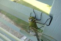 Dragons et Libellules Dragonfly