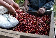 kávéültetvény