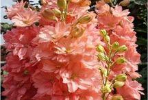 Delphinium Flower Seeds