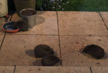 Helping wild hedgehogs / Tips and advice for helping hedgehogs in your garden. What to feed hedgehogs in your garden. How to attract hedgehogs to your garden. Hedgehog friendly gardening. Helping wildlife in your garden.
