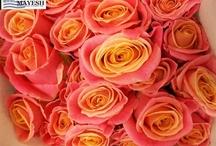 Roses aplenty