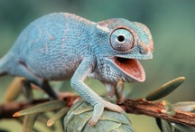 Little Dragons / Chameleons, lizards and company