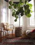 Fiddle Leaf Fig Trees