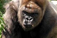 Gorilla / Como Zoo's Gorillas